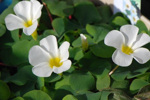オキザリス白花