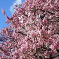 Photos: 熱海桜満開