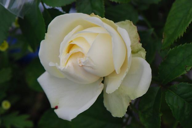 アンドロメダ咲き始め2020.5.31