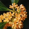 Photos: キンモクセイの花