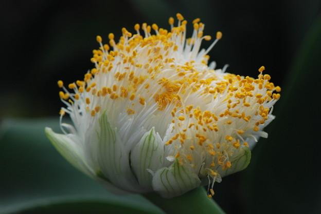 ハマエンサスの花