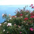 Photos: 海とバラ