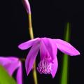 Photos: 紫蘭