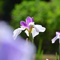 Photos: 花しょうぶ