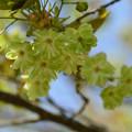 写真: MIDORIの桜