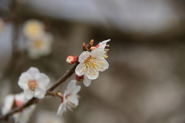 写真: 梅ちゃん咲く