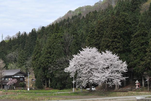 写真: サクラの有る風景