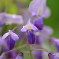 写真: フジの花