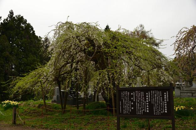 Photos: 杉の糸桜