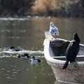 写真: カワウとユリカモメ