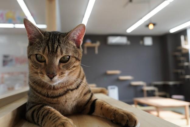 まっすぐ見つめる猫