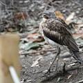 オーストラリアイシチドリ