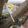 写真: 巣作りキンカチョウ