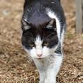 写真: 歩いてくる猫