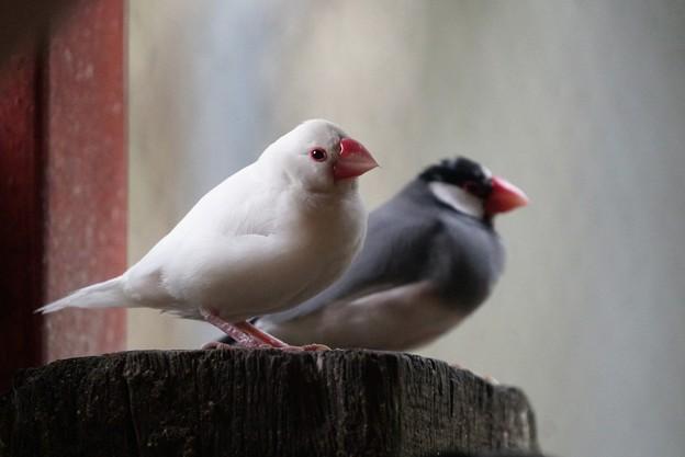 写真: 白ブンチョウと桜ブンチョウ