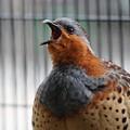 写真: 歌う小綬鶏