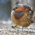 写真: 小綬鶏