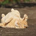 写真: ごろごろ猫2