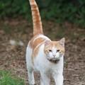 写真: しっぽを立てる猫