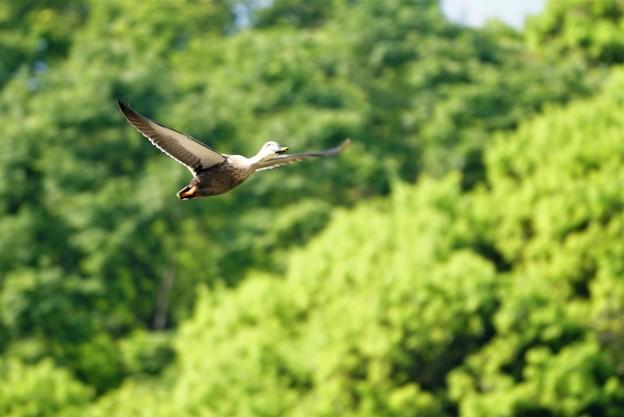 写真: 飛ぶカルガモ
