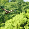 Photos: 飛ぶカルガモ