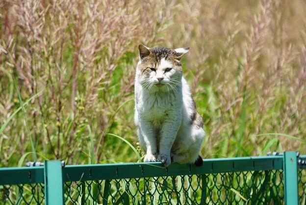 写真: フェンス上の猫