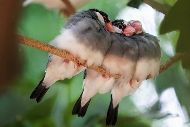 集まる文鳥1