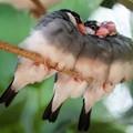 写真: 集まる文鳥1
