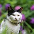 写真: 猫と紫陽花
