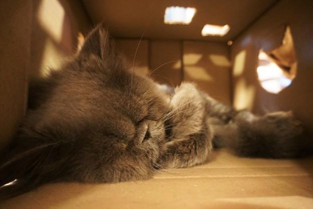 ダンボールの中で眠る猫2