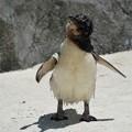 写真: フェアリーペンギン1