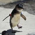 写真: フェアリーペンギン2