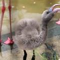 フラミンゴの幼鳥2
