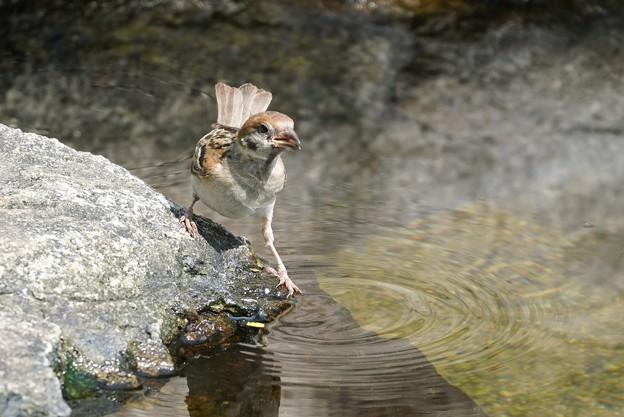 水辺のスズメ