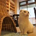 写真: 短足猫