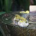 Photos: メジロの水浴び
