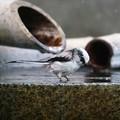 写真: 水も滴る良いエナガ2