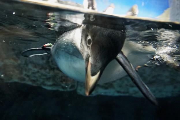 迫りくるアデリーペンギン