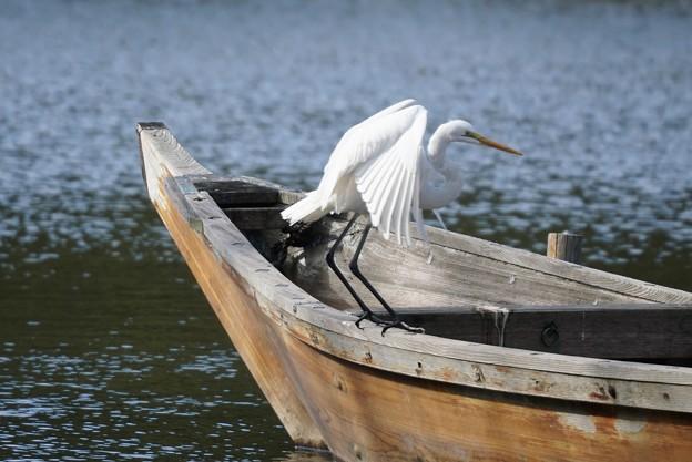 船に乗るダイサギ