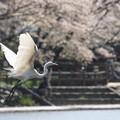 Photos: 桜とダイサギ