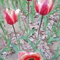 写真: スプリングサプライズ。花びらの内側の模様が特徴的。