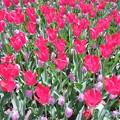 写真: 赤くて背が高いのが隆貴、下のピンクがキャンディープリンス。