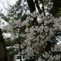 写真: 2017年4月9日 西公園 桜 福岡 さくら 写真 (10)