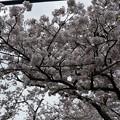 写真: 2017年4月9日 西公園 桜 福岡 さくら 写真 (13)