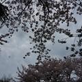 写真: 2017年4月9日 西公園 桜 福岡 さくら 写真 (15)