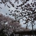 写真: 2017年4月9日 西公園 桜 福岡 さくら 写真 (16)