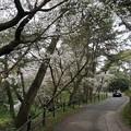 写真: 2017年4月9日 西公園 桜 福岡 さくら 写真 (31)