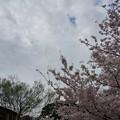 写真: 2017年4月9日 西公園 桜 福岡 さくら 写真 (53)