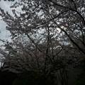 写真: 2017年4月9日 西公園 桜 福岡 さくら 写真 (66)