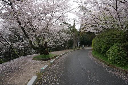 2017年4月9日 西公園 桜 福岡 さくら 写真 (67)
